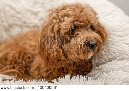 Cavapoo Dog In His Bed, Mixed -breed Of Cavalier King Charles Spaniel And Poodle.