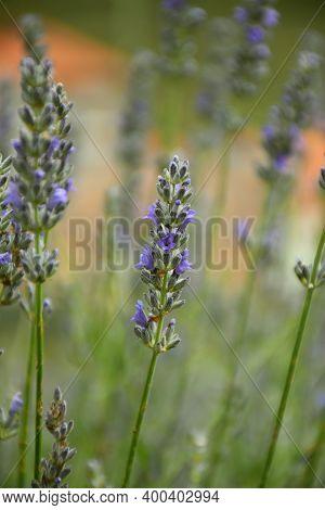 Purple Flowers Of Lavandula Angustifolia In A Village Playground.