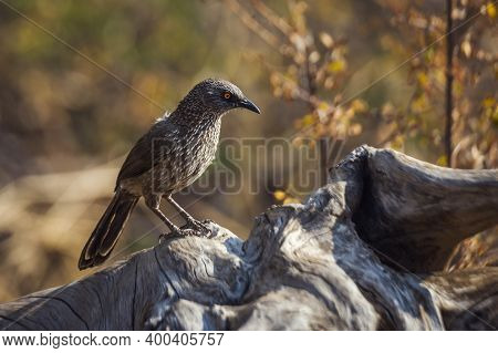 Arrow Marked Babbler Standing On A Log With Fall Colors Background In Kruger National Park, South Af