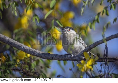 Black Backed Puffback In Yellow Flowering Tree In Kruger National Park, South Africa ; Specie Dryosc