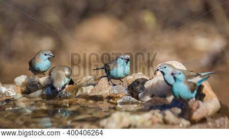 Small Group Of Blue-breasted Cordonbleu Standing At Waterhole In Kruger National Park, South Africa