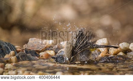 Dark Capped Bulbul Bathing In Waterhole In Kruger National Park, South Africa ; Specie Pycnonotus Tr