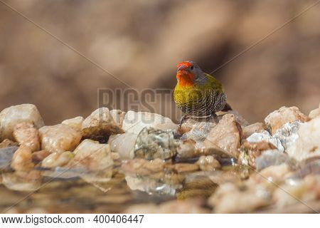 Green Winged Pytilia Male Standing At Waterhole Front View In Kruger National Park, South Africa ; S