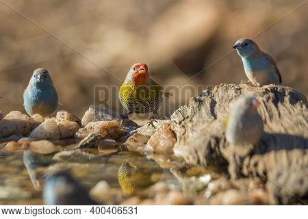 Green Winged Pytilia And Blue Breasted Cordonbleu Standing At Waterhole In Kruger National Park, Sou