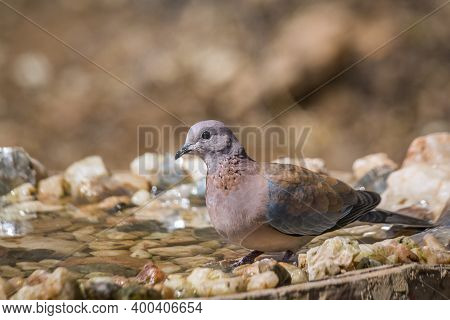 Laughing Dove Bathing In Waterhole In Kruger National Park, South Africa ; Specie Streptopelia Seneg