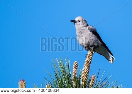 Clark's Nutcracker Perched High In The Tree Tops
