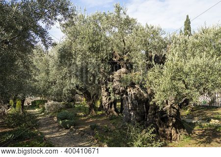 Jerusalem, Israel - December 17th, 2020: The Ancient Olive Trees In The Garden Of Gethsemane Church