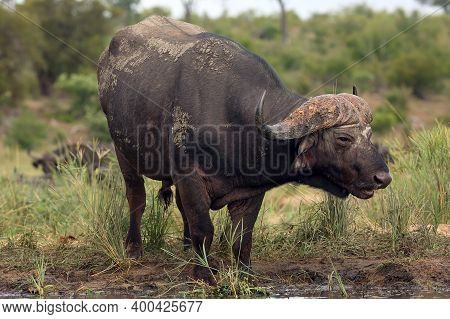 The African Buffalo Or Cape Buffalo (syncerus Caffer) On The Banks Of The Waterhole. Big Old Black B
