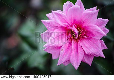 Pinnata Dahlia In Bloom. Pink Dahlias On The Field. Decorative Bud Of Dahlia Close-up.