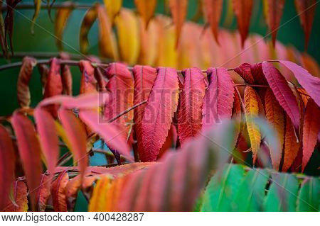 Colorful Autumn Leaves On Rhus Trees In The Park. Sumach In The Fall.