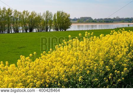 Spring Nature Landscape With Yellow Blossom Of Rapeseed Plants In Sunny Day In Betuwe, Gelderland, N