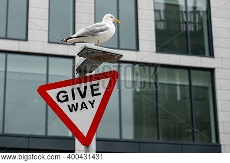 Seagull On A Give Way Traffic Sign In From Of A Modern Office Building In A City. Constrast Between