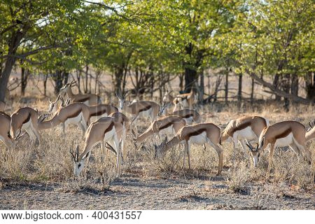 Etosha, Namibia, June 19, 2019: A Herd Of Springboks Will Settle In The Shade Of Trees In The Savann