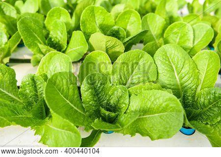 Hydroponic Lettuce Growing In Garden Hydroponic Farm Lettuce Salad Organic For Health Food, Greenhou