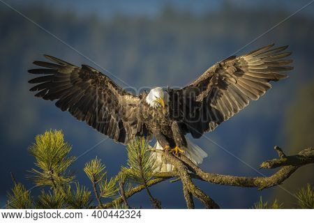 A Majestic Bald Eagle Is Coming In For A Landing On A Branch With Wings Spread In North Idaho.