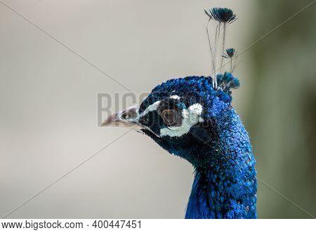 Peacock Head Portrait. Close-up, Pretty Peacock Face.