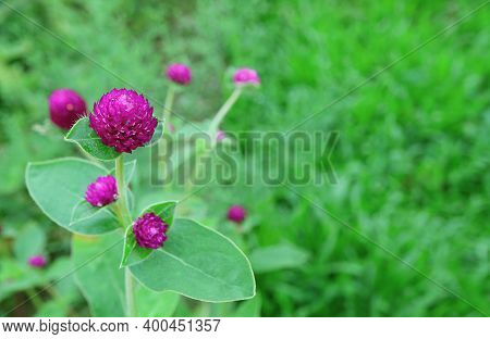 Vivid Magenta Globe Amaranth Flowers In The Vibrant Green Field