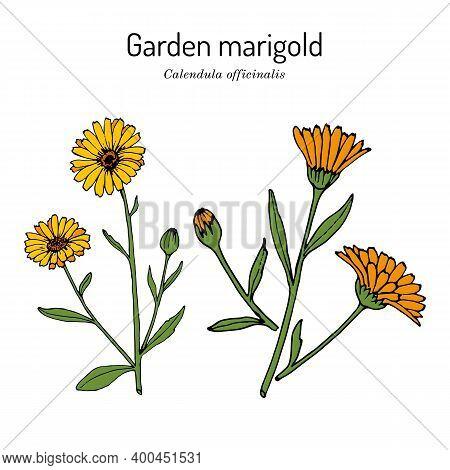 Common Marigold Calendula Officinalis , Medicinal Plant. Hand Drawn Botanical Vector Illustration