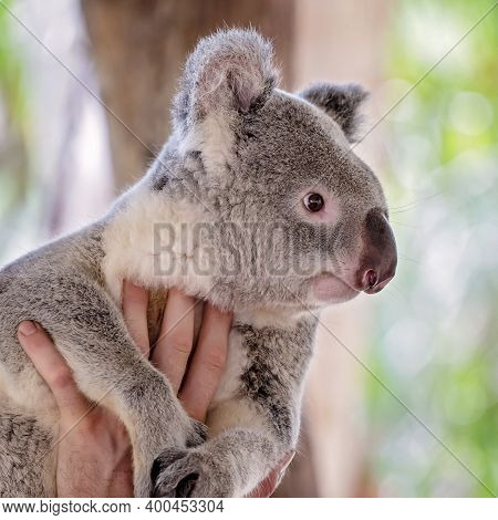 Close Up Of A Cute And Cuddly Tame Australian Koala Bear Being Held