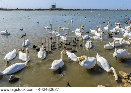 Many Swans In The Lake. A Flock Of Swans Scrambling Over Food On A River. In The Lake Swans Swan Par