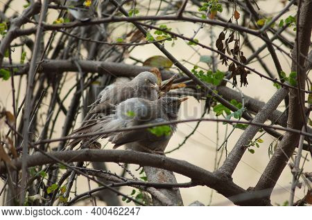 Jungle Babblers Turdoides Striatus Grooming. Keoladeo Ghana National Park. Bharatpur. Rajasthan. Ind