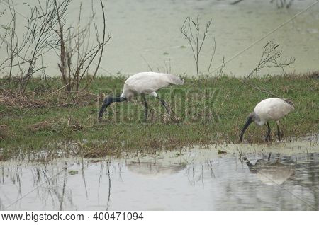 Black-headed Ibises Threskiornis Melanocephalus In A Pond. Adult To The Left And Juvenile To The Rig
