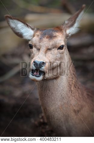 Portrait Of A Female Red Deer In Soft Focus.