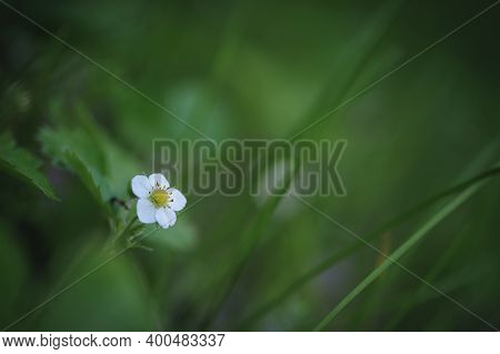 Small White Strawberry Flower, Close-up. Forest Strawberry Flowers In Green Grass. Flowers With Whit