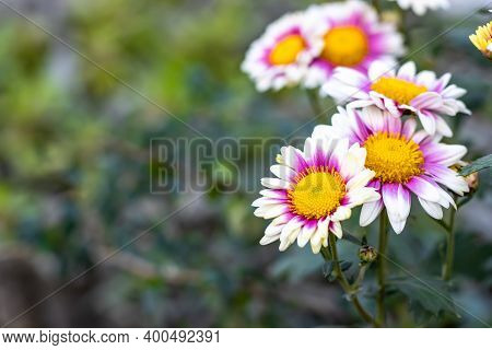 Colorful Aster Alpinus Or The Alpine Aster Or Alpine Daisy Flowers In The Garden