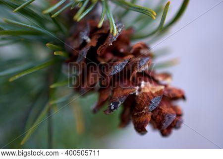 Pinecone Still Hanging On A Fir Tree In Vaduz In Liechtenstein 23.9.2020