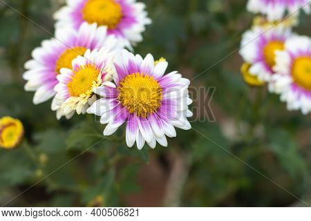 Pink Yellow With White Aster Alpinus Or The Alpine Aster Or Alpine Daisy Flowers In The Garden