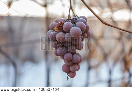 The Missing Grape Harvest. A Bunch Of Missing Grapes On A Branch.