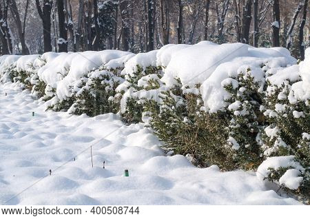 In Winter, On A Sunny Day, The Bushes Are Covered With A Thick Layer Of Snow