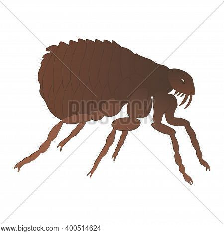 Flea Color Illustration Isolated On White Background. Vector.