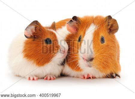 Two Guinea Pigs Isolated On White Background. Funny, Guineapig.