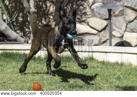 Belgian Malinois Puppy Running On The Grass In The Yard With A Green Ball