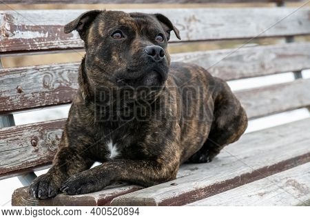 Purebred Staffordshire Bull Terrier On The Bench Looking At The Sky.
