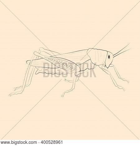 Locust Illustration. Hand Drawn Isolated Sketch. Vector.