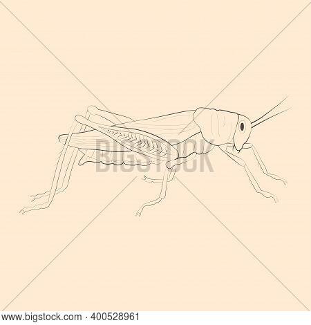 Locust Illustration. Hand Drawn Isolated Sketch. Vector.