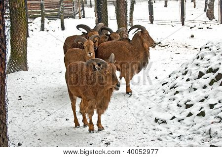 Chamois In Winter