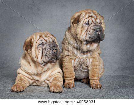 Shar-pei Puppy Dogs