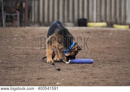 Charming Young Thoroughbred Dog With Protruding Ears And Large Brown Eyes. Kennel Working German She