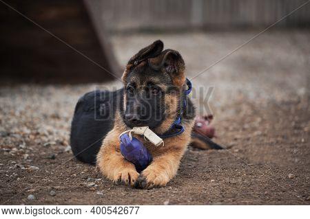 Kennel Of Working German Shepherd Dogs. Cute Little Puppy Of Black And Red German Shepherd Dog Lies