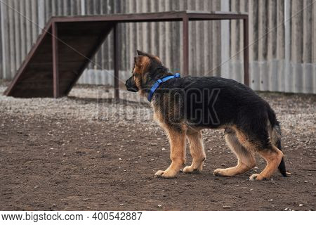 German Shepherd Puppy Of Black And Red Color Stands In Rack On Walk On Dog Playground In Park. Charm