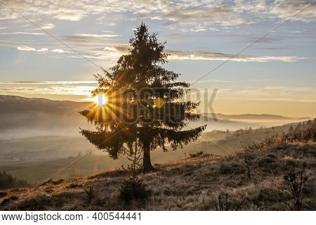 Coniferous Tree In Sunset, Helpa Village, Slovak Republic. Seasonal Natural Scene.