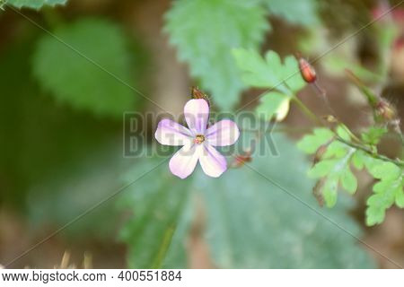 Pink Flower Of Geranium Robertianum On Forest Road.