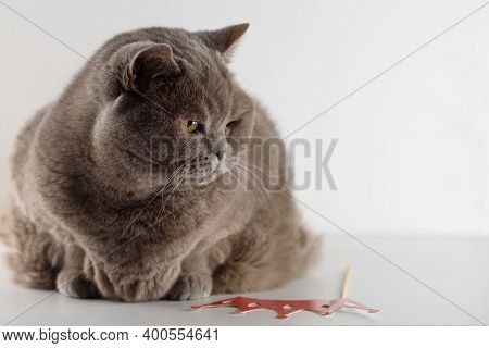 Portrait Cute British Shorthair Cat With Bright Orange Eyes Lying And Look Down On White Background.