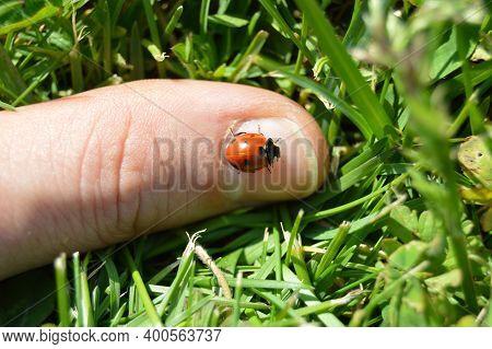 Cute Ladybug On The Finger Between The Grass, Ladybug On Finger