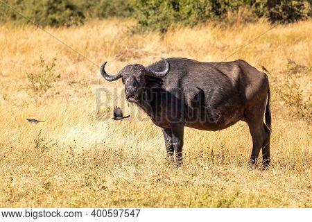 Danger Animal In Africa, African Cape Buffalo At Chobe National Park, Botswana Safari Wildlife