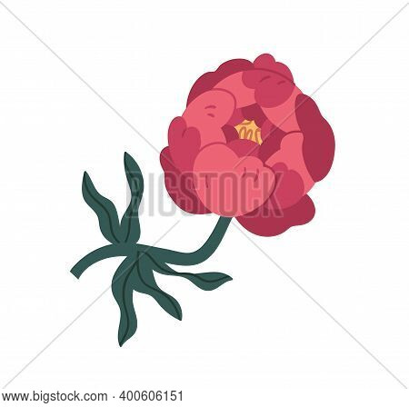 Peony, Pink, Plant, Flower, Floral, Antique, Asian, Beautiful, Bloom, Blossom, Blooming, Botanical,